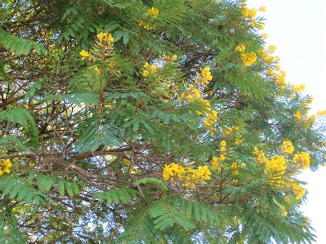 new year yellow tree pretty yellow flowering trees in prado park no day but