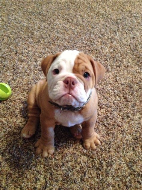 olde bulldogge puppy 34 best olde bulldogge images on