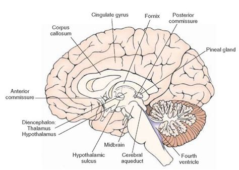 sagittal section of the skull imgs for gt midsagittal section of brain