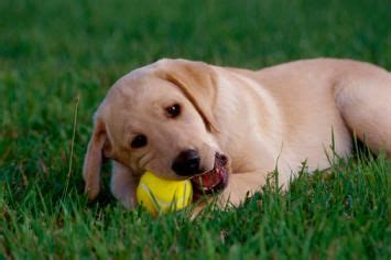 what to give a teething puppy how to survive puppy teething