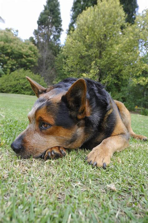 cattle dogs types cattle dogs images