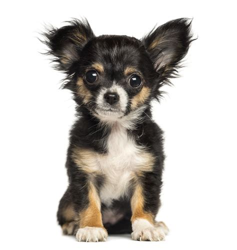 buying puppies buying a pet bbb advice will help you spot a fraud