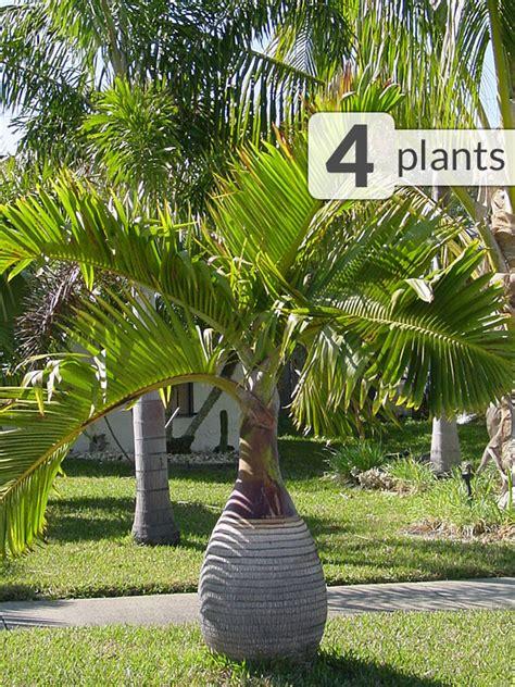 4 bottle palm trees hyophorbe tropical patio pkg kens