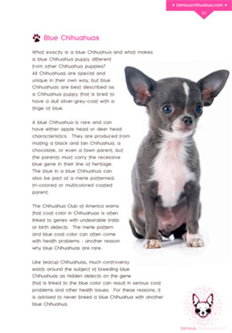 petchidog s book of chihuahua care books what is a blue chihuahua how are blue chihuahua puppies