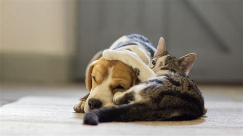 can dogs and cats breed 12 breeds that get along great with cats