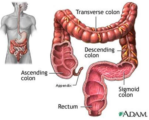 Large Stool Causes Bleeding by Location And Pictures Of Different Organs In The Abdomen
