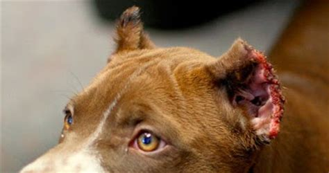 ear cropping price ear cropping and what is your view pets nigeria