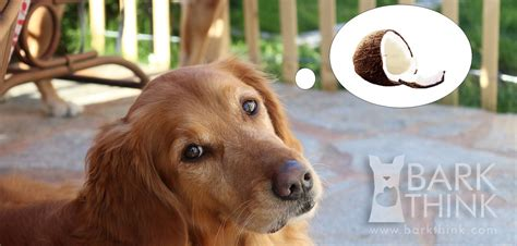 coconut bad for dogs benefits of coconut for dogs bark think