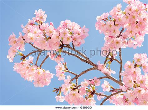 national cherry blossom festival cherry blossom festival washington dc stock photos