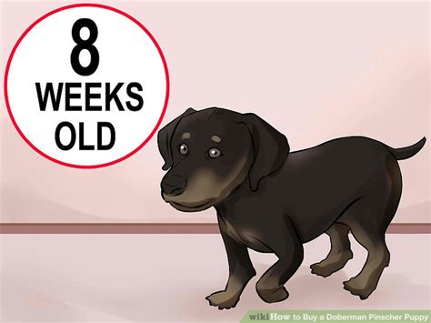 buy doberman puppy 4 ways to buy a doberman pinscher puppy wikihow