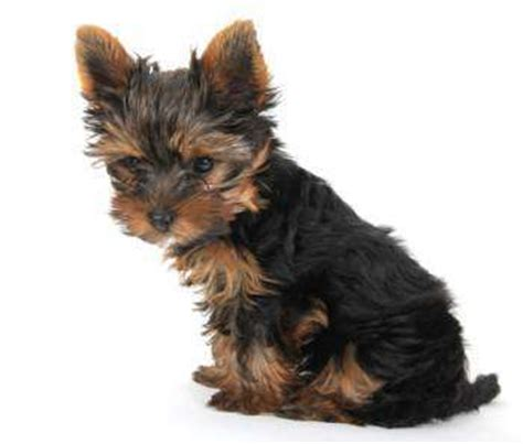 yorkie swollen yorkie skin problems terrier information center