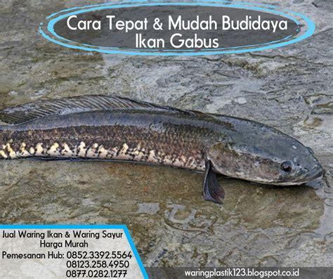 Harga Waring Untuk Ikan cara tepat mudah budidaya ikan gabus jual waring sayur