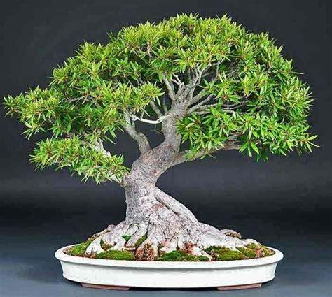 vasi per bonsai grandi piante bonsai attrezzi e vasi per bonsai come