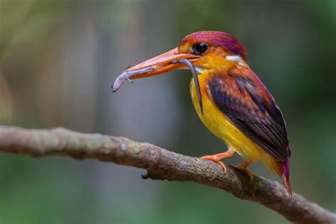 246 best images about southeast asia birds on pinterest