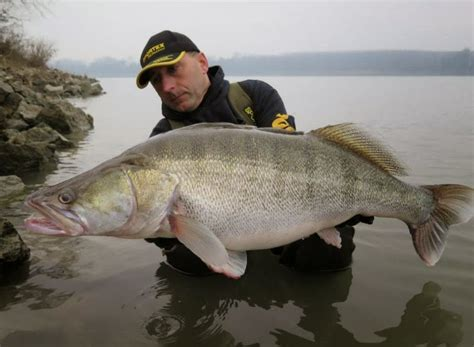 river thames record zander big fishes of the world zander page 2