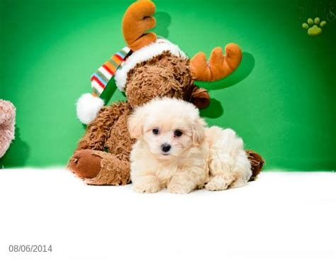 maltipoo puppies for sale ohio 123 best images about maltipoo puppies for sale on puppys teacup