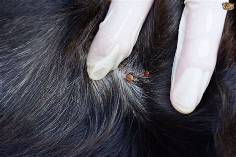 how long do ticks live in house how long can dog ticks live in a house noten animals