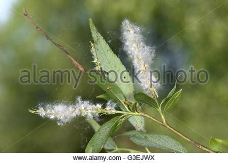crack willow (salix fragilis), willow leaves with galls of