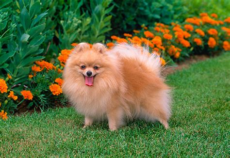orange pomeranian image gallery orange pomeranian