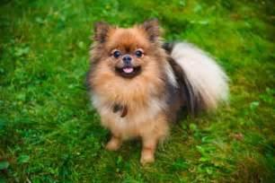 spitz nain chiot a vendre chien loulou vente achat
