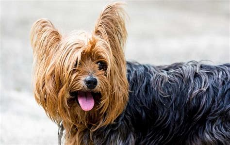 types of yorkies breeds the terrier all about the yorkie