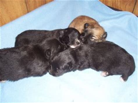 pomeranian puppies for sale in raleigh nc pomeranian puppies for sale