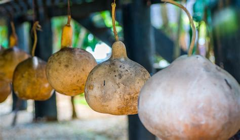 how to or cure ornamental gourds
