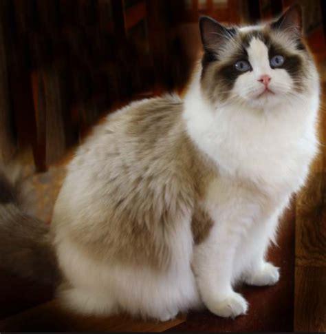 ragdoll que significa todo sobre mi gato el ragdoll