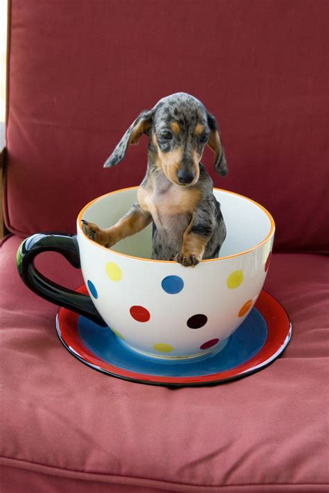 how much are dachshund puppies teacup dachshund puppies