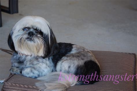 shih tzu age in human years breed calculator breeds picture