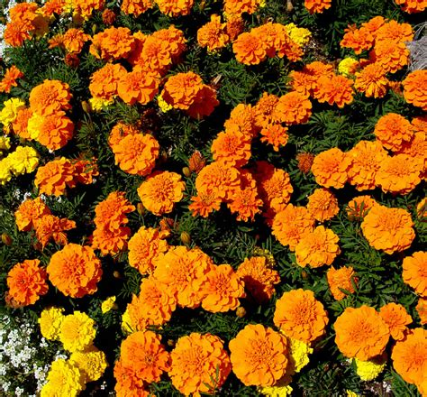 marigolds shade foliage texture leaves medium green pinntified and