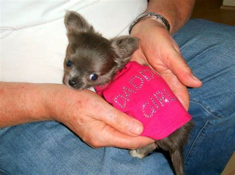 teacup chihuahua and pomeranian mix pomeranian chihuahua mix grown breeds picture