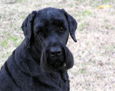 black russian black russian terrier breed and photos and videos list