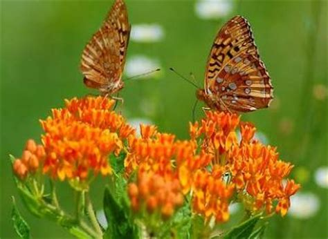 bulk butterfly milkweed seeds