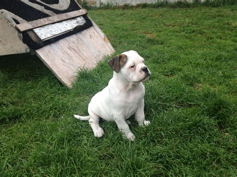 olde bulldog puppies olde tyme bulldog puppies halifax west pets4homes