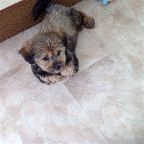 maltese shih tzu for sale uk maltese shih tzu puppy for sale swindon wiltshire pets4homes