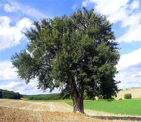 define tree tree wiktionary