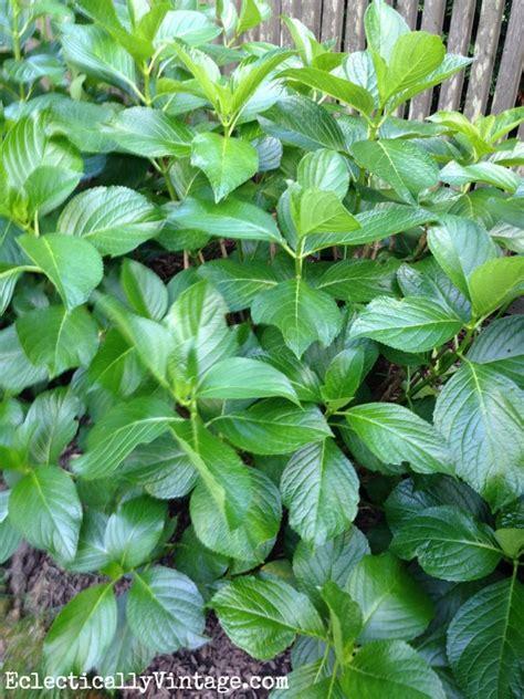 when to prune hydrangeas
