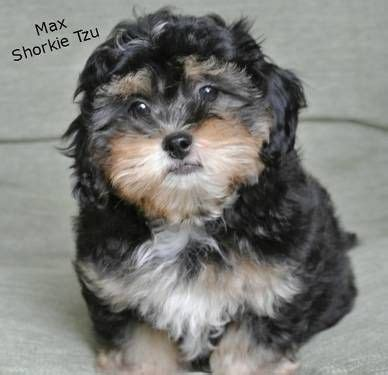 shih tzu and yorkie mix 25 best ideas about shorkie tzu on pics of puppys picture of puppies and
