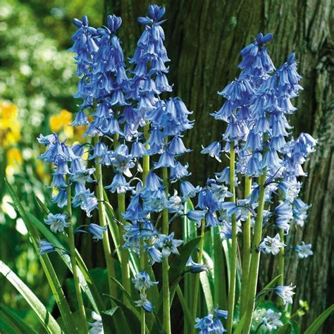 english bluebells wood hyacinth flowers pinterest