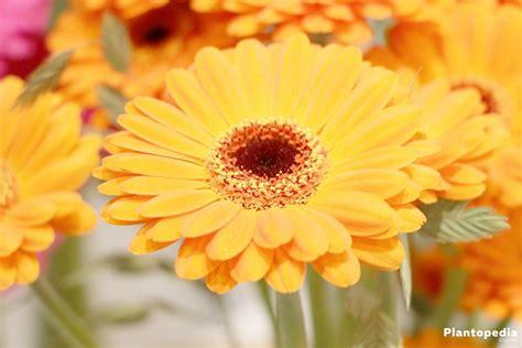 gerbera daisy  pots cultivation   grow  seeds