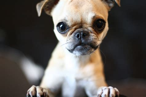 pic of dogs chug chihuahua pug mix info temperament grooming pictures