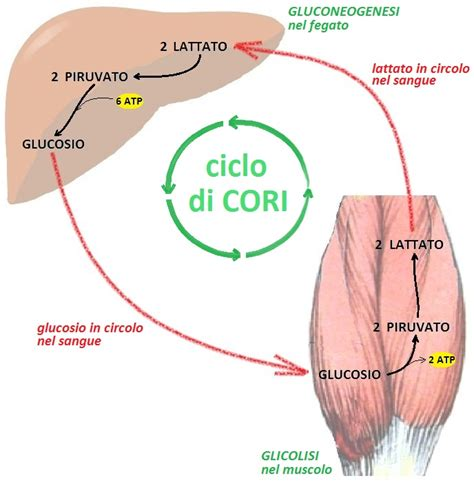 q es la creatine kinase q about gluconeogenesis the biochemistry questions site