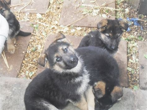 german sheperd puppies for sale german shepherd puppies for sale tarporley cheshire pets4homes