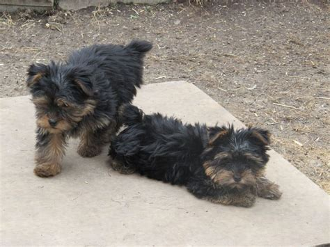 yorkie puppies for sale in ri best 10 yorkies for sale ideas on