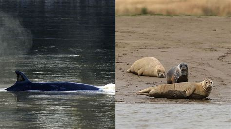 Thames River Wildlife | seriously unexpected marine mammals are being spotted in