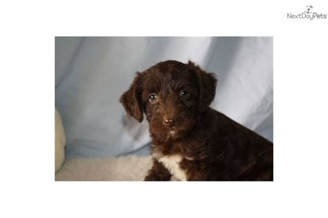 chocolate yorkie poo yorkie poo for sale sold the yorkie poo breeds picture