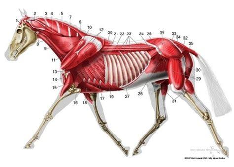 horses muscles diagram trotting anatomy diagram la