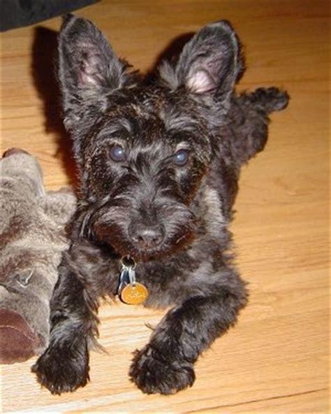 differeñt cut for sçott terrier breeds scoodle dog breed information and pictures