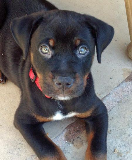 pitbulls and rottweilers mixed pitweiler animal